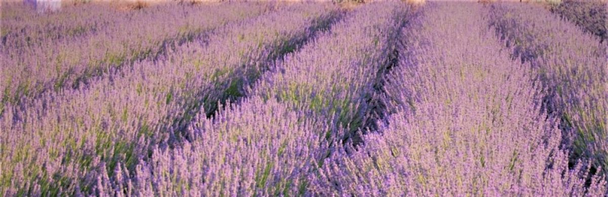 Campie's Lavender Patch