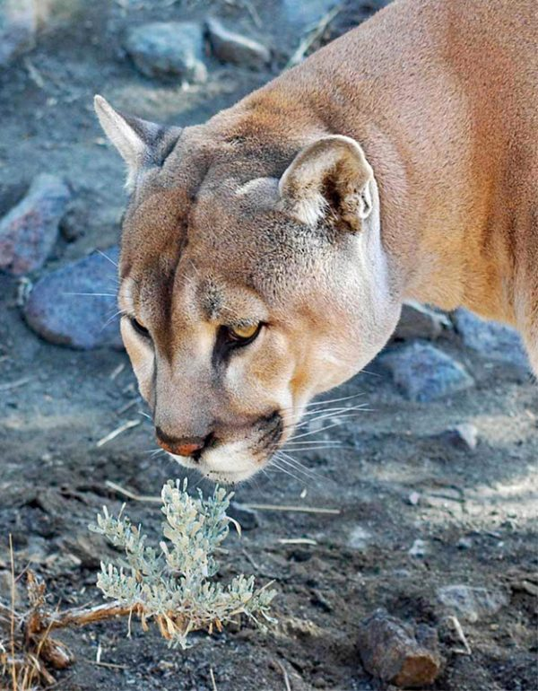 """Made in Nevada """"Cougar and Sage"""" Color Photographic Prints"""