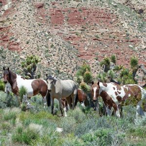 "Made in Nevada ""Nevada's Wild Horses"" – Color Photographic Print"