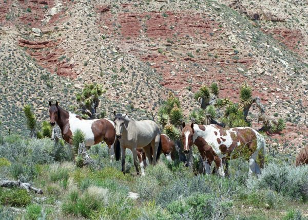 """Made in Nevada """"Nevada's Wild Horses"""" – Color Photographic Print"""