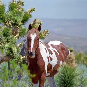 "Made in Nevada ""Wild Paint Stallion"" Color Photographic Print"