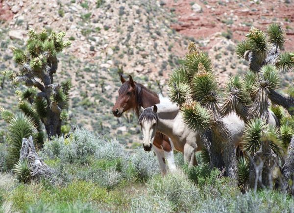 """Made in Nevada """"Peekaboo Mares"""" – Color Photographic Print"""