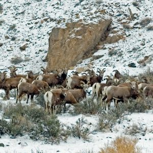 "Made in Nevada ""Desert Bighorn Sheep"" Color Photographic Prints"