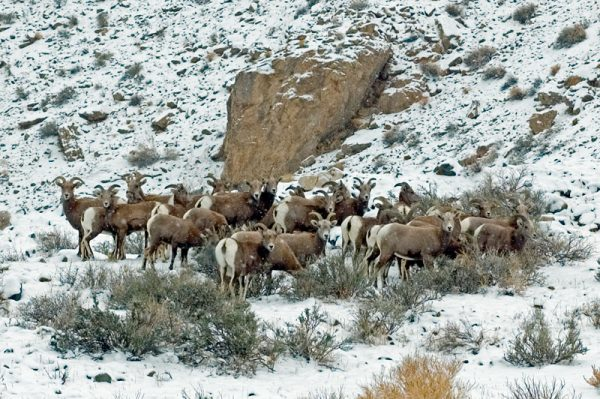 """Made in Nevada """"Desert Bighorn Sheep"""" Color Photographic Prints"""