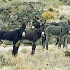 """Made in Nevada """"Wild Burros"""" – Color Photographic Print"""