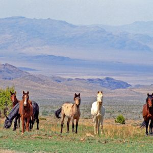 "Made in Nevada ""Wild Horses at Cold Creek, Nevada"" Color Photographic Print"