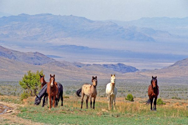 """Made in Nevada """"Wild Horses at Cold Creek, Nevada"""" Color Photographic Print"""
